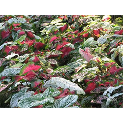 Caladium by the Bushel (Bulk)