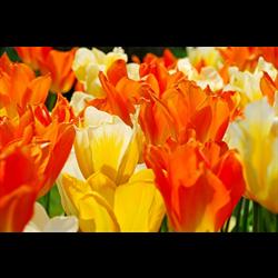 Tulip, Fosteriana (Emperor)