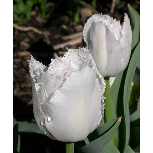 Tulip, Fringed