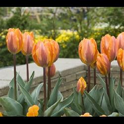 Tulip, Triumph
