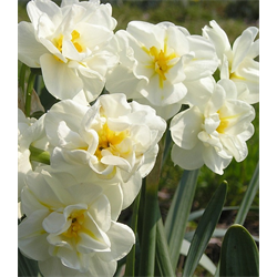 Daffodil, Double