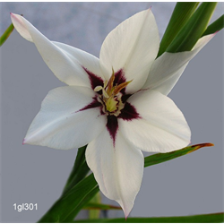 Gladiolus, Species