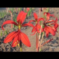 Sprekelia (Aztec Lily)