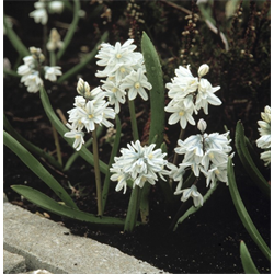 Puschkinia (Striped Squill)