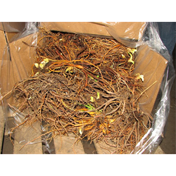 Bulbs by the Bushel (Bulk)