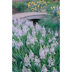 Camassia (Indian Hyacinth)