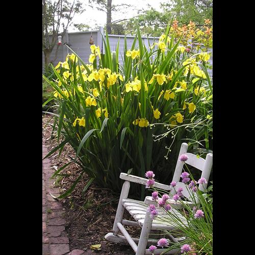 Iris, Japanese by Variety