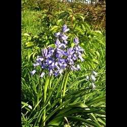 Hyacinthoides (Bluebell)