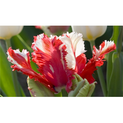 Tulip, Parrot
