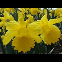Daffodil, Trumpet