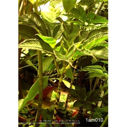 Amorphophallus (Voodoo Lily)