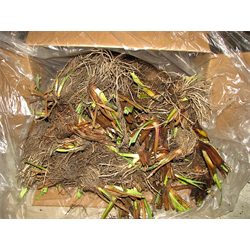 Japanese Iris by the Bushel (Bulk)