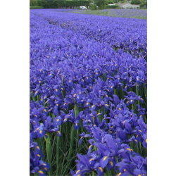 Iris, Dutch