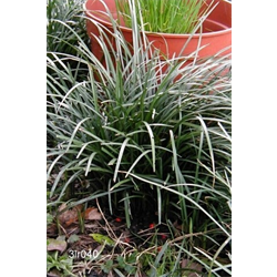 Liriope by the Bushel (Bulk)