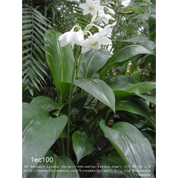 Eucharis (Amazon Lily)