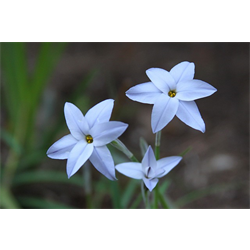 Ipheion (Starflower)