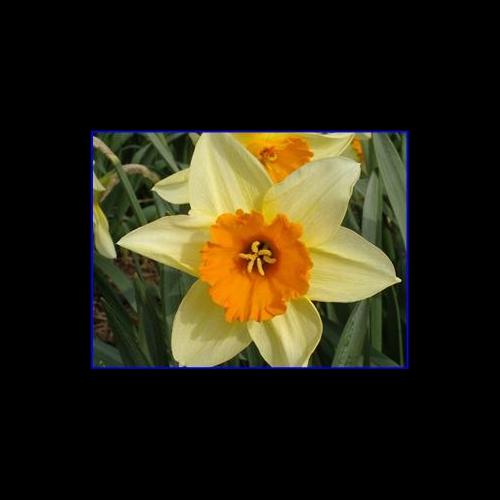 Daffodil, Large Cup
