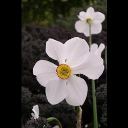 Daffodil, Poeticus