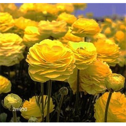 Ranunculus (Persian Buttercups)
