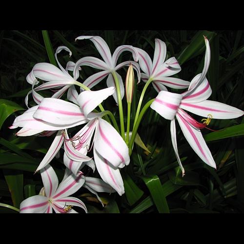 Crinum (Cape Lily)