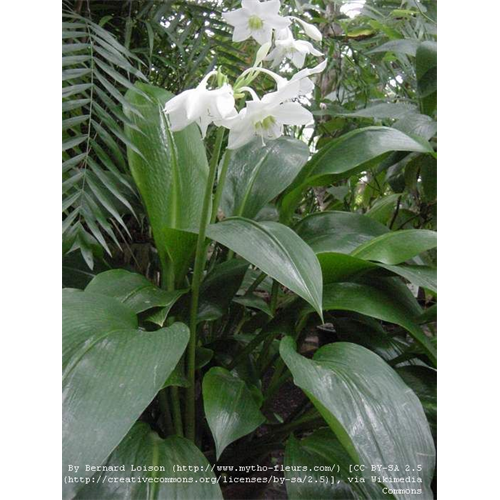 Eucharis (Amazon Lily)