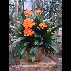 Clivia (Kaffir Lily)
