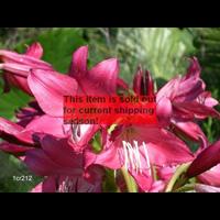 crinum bulbs crinum lilies terra ceia farms