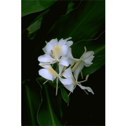 Hedychium (Ginger Lily)