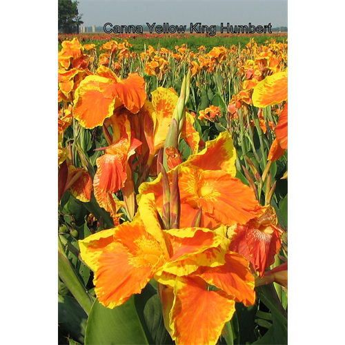 Canna Giant Varieties
