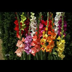 Gladiolus,Hybrids