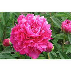 Peony by Variety