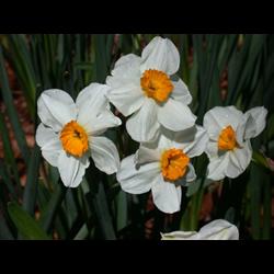 Daffodil, Tazetta