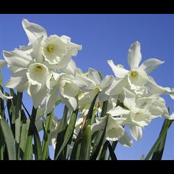 Daffodil, Triandrus