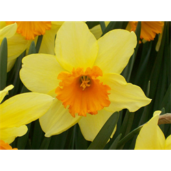 Spring Blooming Bulbs and Plants (Shipping in Fall from 10/1 - 1/15)