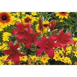 Aisatic Lily Varieties