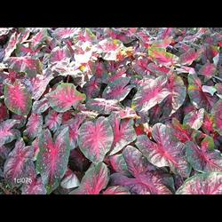 Caladium Varieties