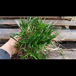 Liriope Clumps (Undivided Plants)