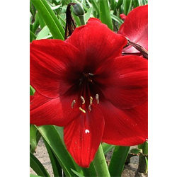 Amaryllis (Garden)
