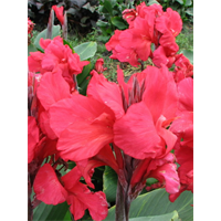 5 Bulbs Canna Dwarf Picasso Give your garden a tropical look Now Shipping!