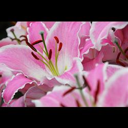 Oriental Lily Varieties