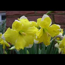 Daffodil, Split Corona