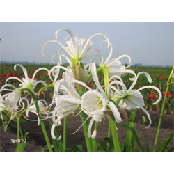 Hymenocallis (Peruvian Daffodil)