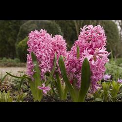 Hyacinth, Dutch