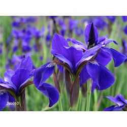 Siberian Iris Varieties
