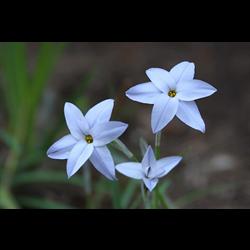 Ipheion (Starflower)