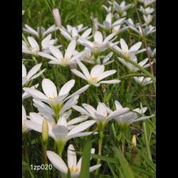 Zephyranthes (Rain Lily)