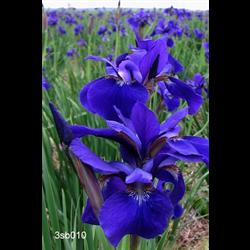 Iris, Siberian