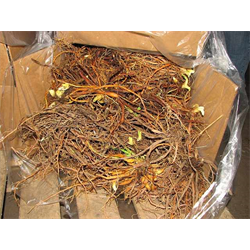 Daylily by the Bushel (Bulk)