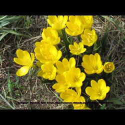 Sternbergia (Autumn Daffodil)
