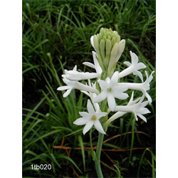 Polianthes (Tuberose)